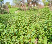 knotweed bush