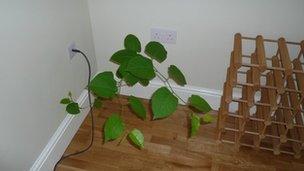knotweed growing in floor
